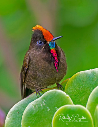 Male Rainbow-bearded Thornbill (Chalcostigma herrani)