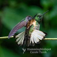 Colibrí colihabano
