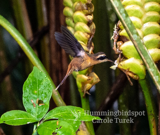White-browed Hermit