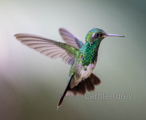 Juvenile Male Canivet's Emerald