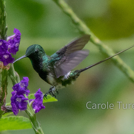 Black-bellied Thorntail