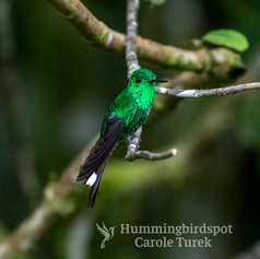 Rufous-vented Whitetip