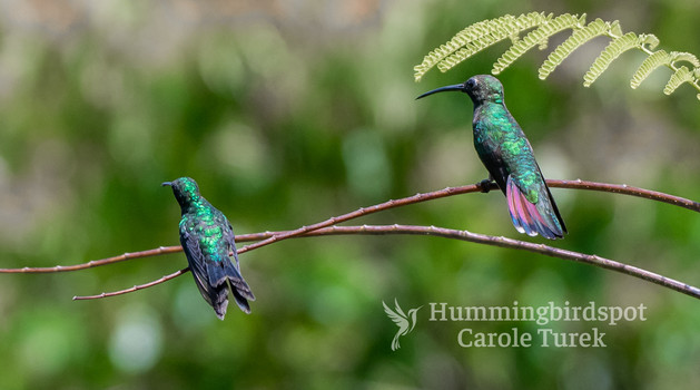 Canivet's Emerald (left) and Green-breasted Mango (right)