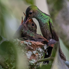 Rufous-tailed Nest