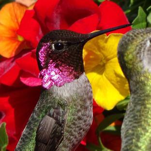 Male and Female Anna's Hummingbirds