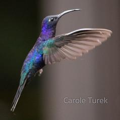 Violet Saberwing