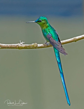 Long-tailed Sylph, Aglaiocercus kingi, male