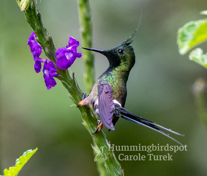 Wire-crested Thorntail