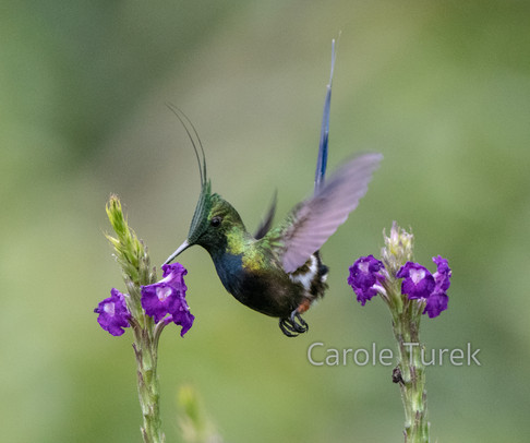 Male Wire-crested Thorntail