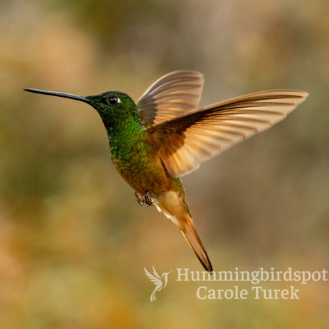 Violet-throated Starfrontlet