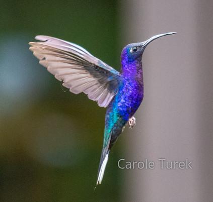 Violet Sabrewing