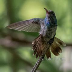 Honduran Emerald Hummingbird (Endémico)