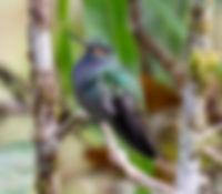 Colibrí de Bouguer oriental