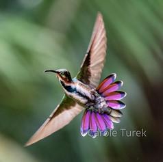 Green-breasted Mango Hummingbird