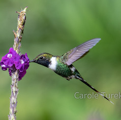 Sparkling-tailed Woodstar