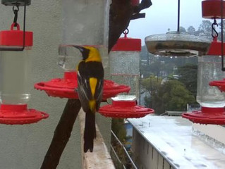 Hooded Orioles Love Those Hummingbird Feeders