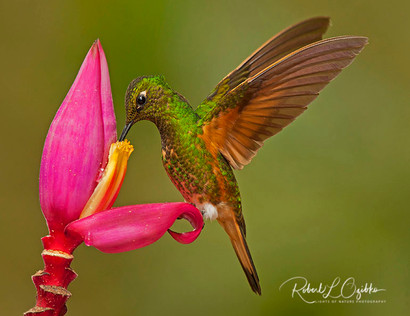 Buff-tailed Coronet (Boissonneaua flavescens)