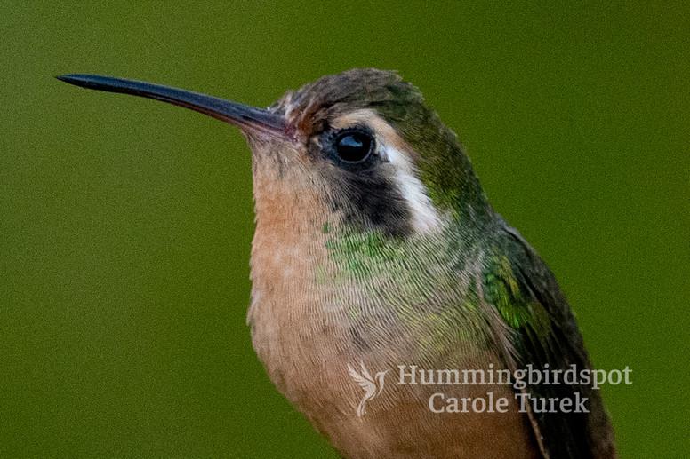 Xantus's Hummingbird