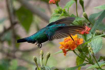 Blue-tailed Emerald