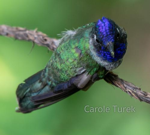 Violet-headed