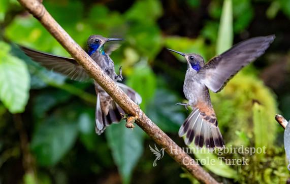 Fighting Brown Violetears