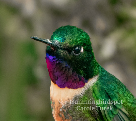 Amethyst-throated Sunangel