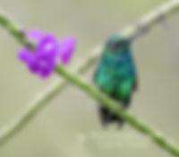 Esmeralda coliazul