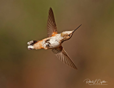 Female Allen's Hummingbird (Selasphorus sasin)