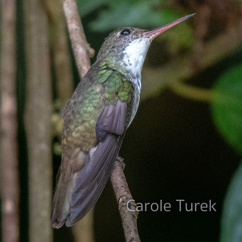 White-bellied Emerald