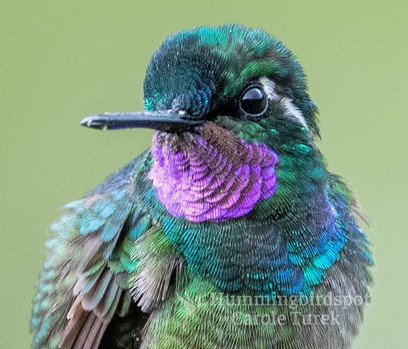 Purple-throated Moutain-gem
