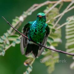 Canivet's Emerald