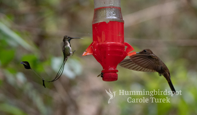 Marvelous Spatuletail and Bronzy Inca