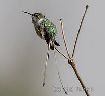 Male Peruvian Sheartail