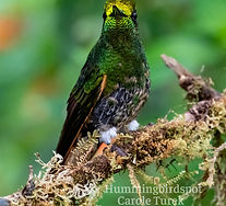 Buff-bellied Coronet