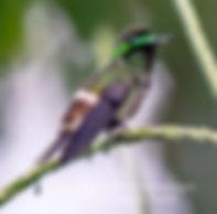 Coqueta Verde Sureña