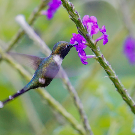 Male Sparkling-tailed Woodstar