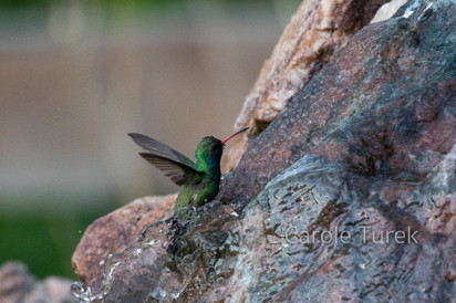 Colibri Piquiancho