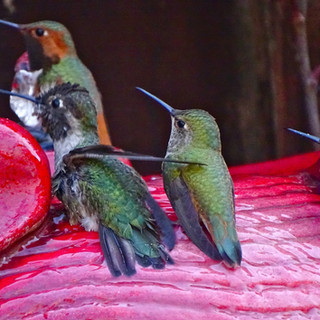 Bathing Anna's and Allen's Hummingbirds