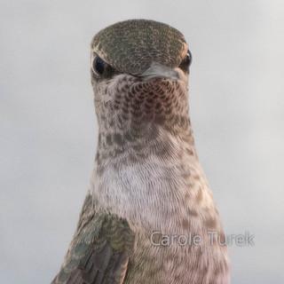Colibri Garganta Morada
