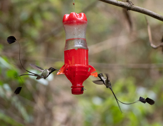 Marvelous Spatuletails at feeder