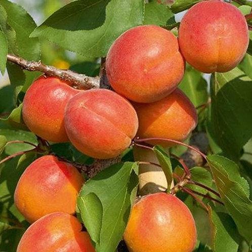 Scout Apricot