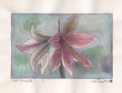 Sweet amaryllis