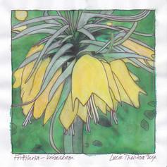 Frittilaria - Koningskroon