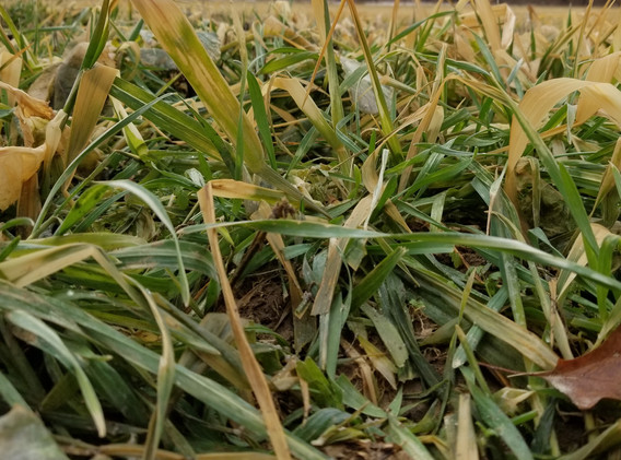 Cereal Rye after subzero temps and snowc