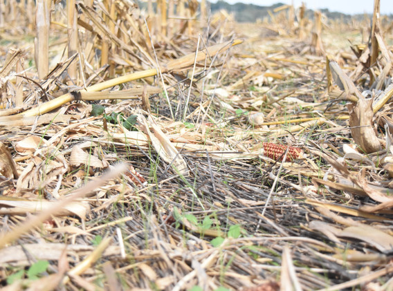 Residue after harvest, Knox County.jpg