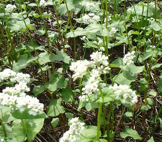 Up close photo of buckwheat seeded by Po