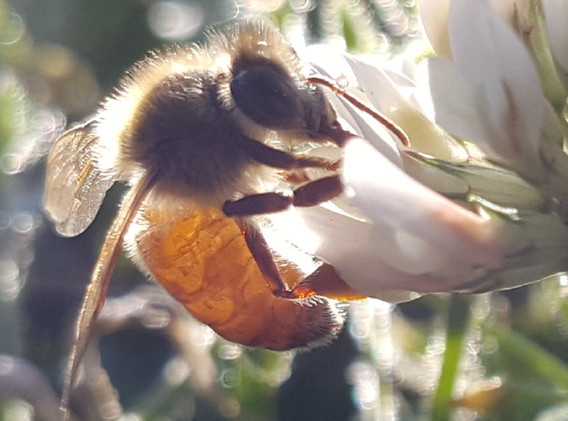 Pollinator on Clover Flower.jpg