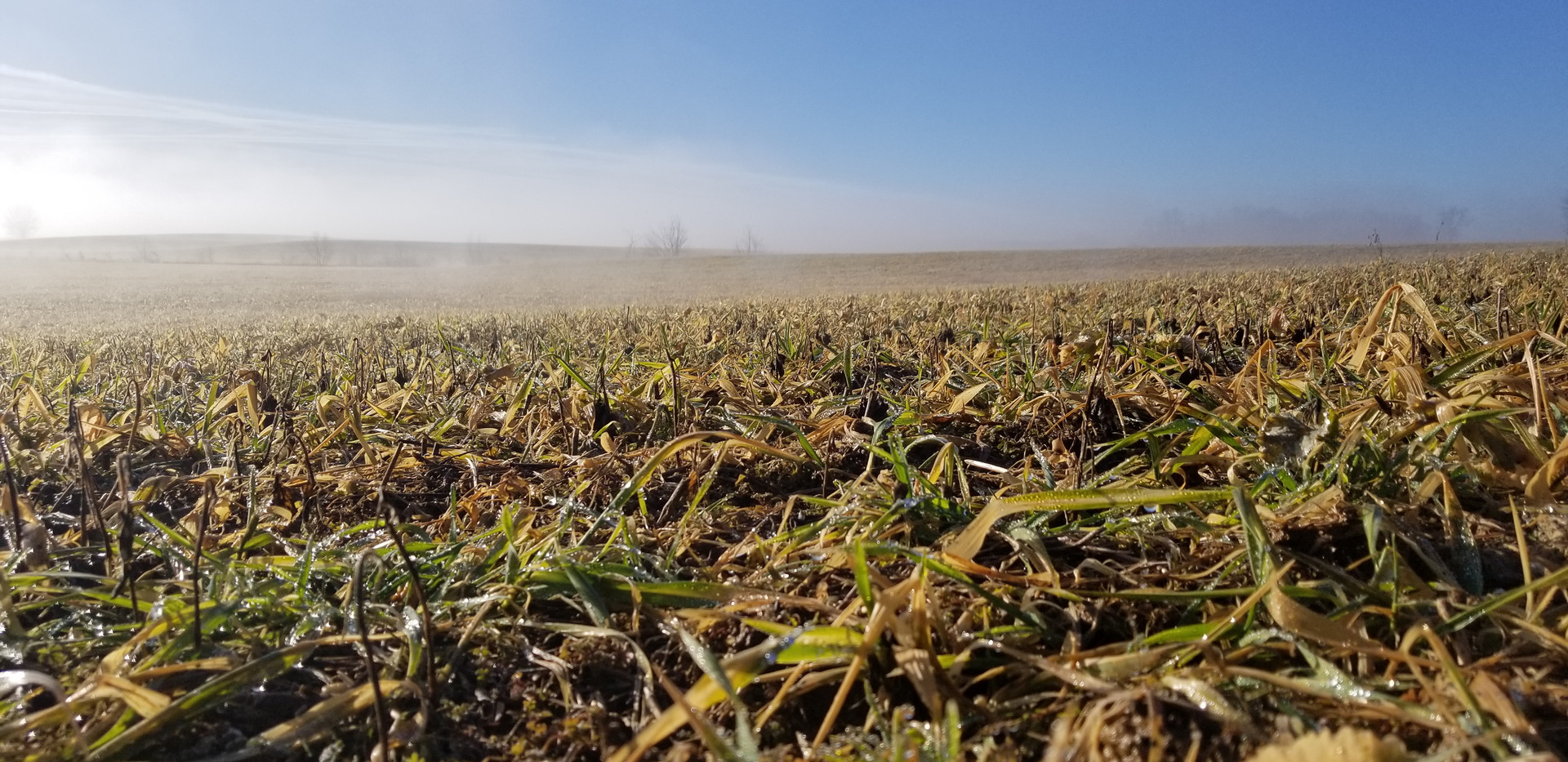 Foggy sunrise over cover crop.jpg