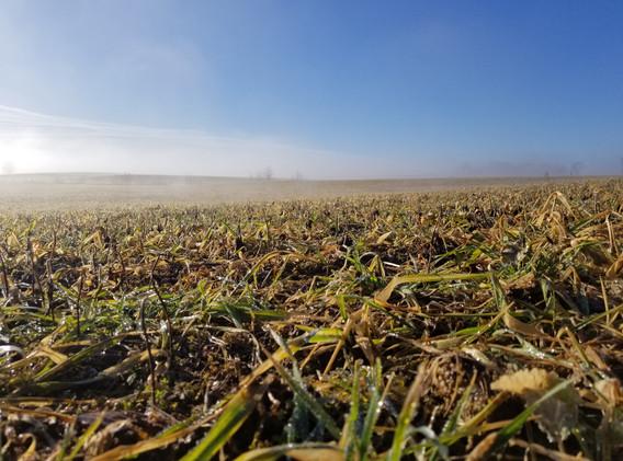 Foggy sunrise over cover crop.jpg