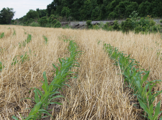 Corn growing in terminated cover crops.j